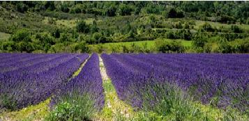 Où voir des champs de lavande en Provence ?